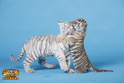可爱老虎图片大全超萌
